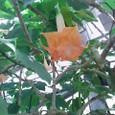 エンジェルトランペット(八重咲き)