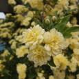 木香薔薇(もっこうばら)