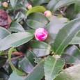 山茶花のつぼみ