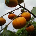 さらに色づく柿