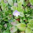 ちっちゃな紫の小花