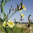 薄黄色の野の花