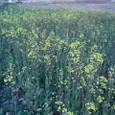 久能城址の菜の花