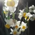 陽の透ける花
