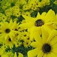 鮮やかな黄色の花たち