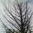 銀杏の裸木
