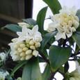 白い花の木