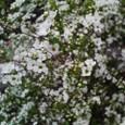 西庭の米桜