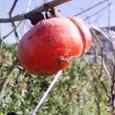 我が家の木守り柿