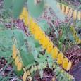 黄色く色づいた葉たち