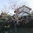 木守り柿(きもりがき)