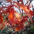 小春日の紅い葉