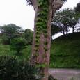 槙の木と蔦のコラボ