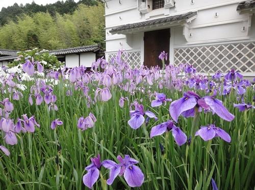 淡い紫の菖蒲