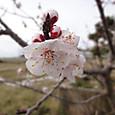 杏(あんず)の花