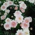 可愛らしい菊