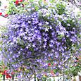 紫色の星形の花