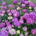 明るい紫陽花