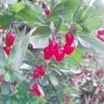 冬の赤い実