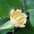 百合の木の花(斜め上から)