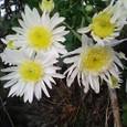 オーソドックスな菊