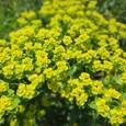 黄色い野の花