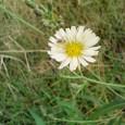 淡い黄色の野の花