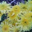 黄色のちょっと大きな菊